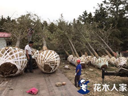 大树全冠提高成活率移栽技术