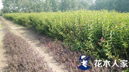 红王子锦带种植繁育技术要点