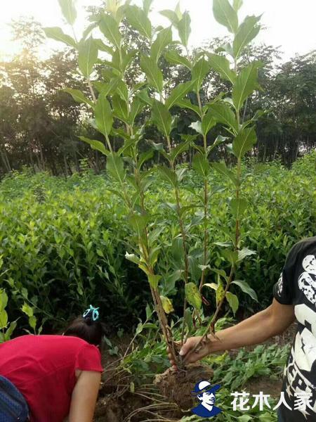 红王子锦带种植管理技术