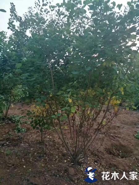 黄栌种子种植技术