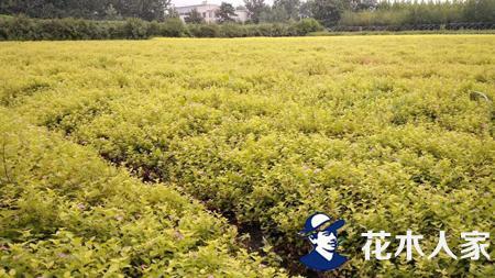 金山绣线菊种植繁育技术