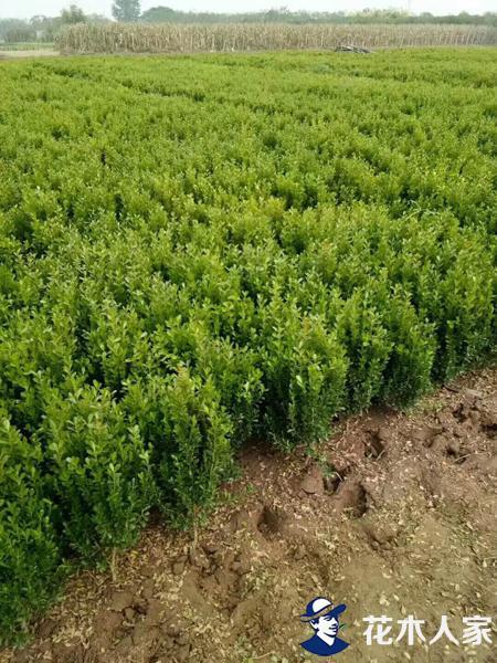 小叶黄杨苗圃基地实景照片