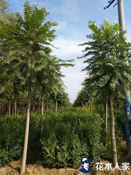 榆树小苗种植繁育方法