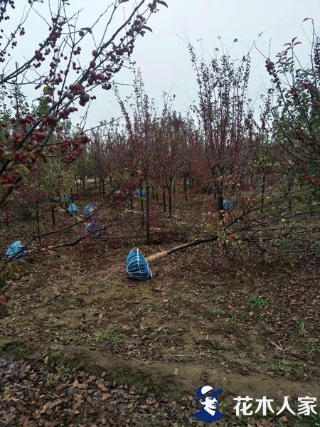 北美海棠苗圃基地实景照片