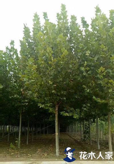 速生法桐的生态效应和园林表现