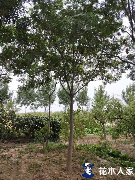 合欢树苗圃基地实景照片