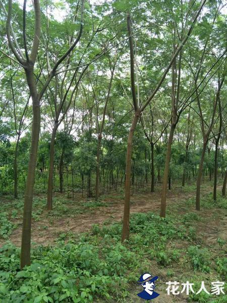 合欢树的病害及防治方法