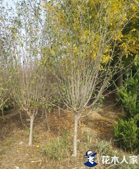 木槿树苗圃基地实景照片
