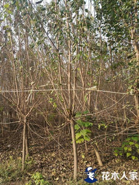 暴马丁香苗圃基地实景照片