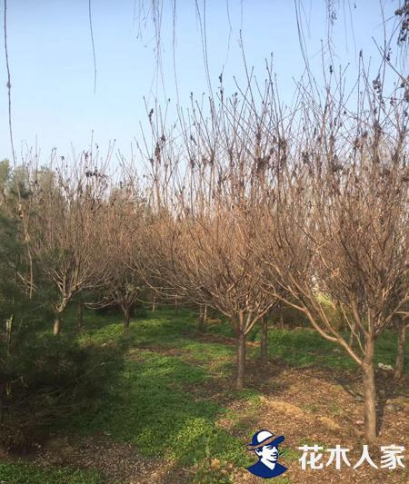 樱花树苗圃基地实景照片