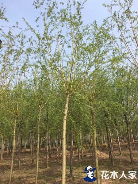 金丝柳种植——扦插繁殖方法