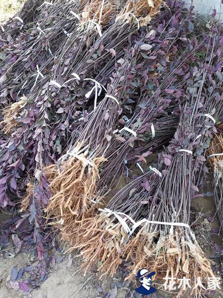 丛生紫叶矮樱苗圃基地实景照片