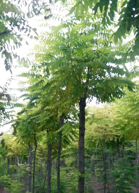 香花槐苗圃基地实景照片