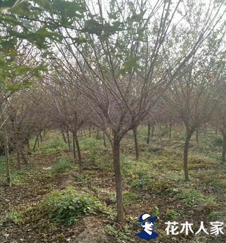 金银木栽培养护技术