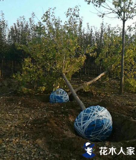 金叶复叶槭基地苗圃实景照片