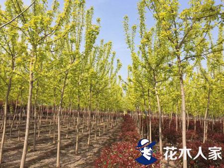 金叶复叶槭种植及修剪方法