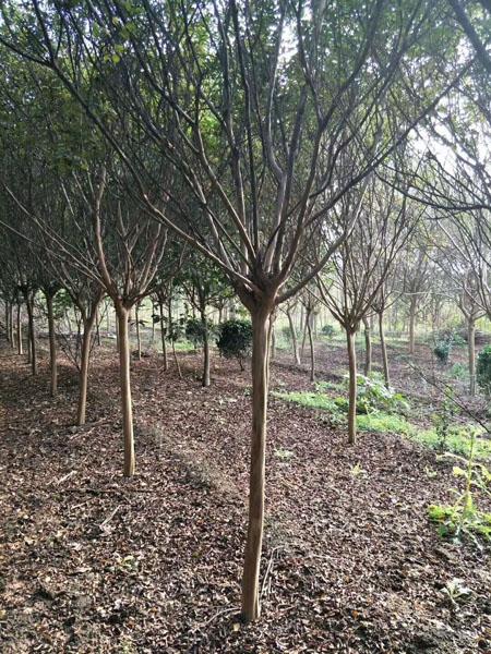 紫薇树苗圃基地实景照片