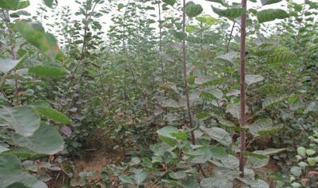 黄栌种子图片