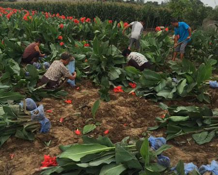 美人蕉的栽培种植管理技术