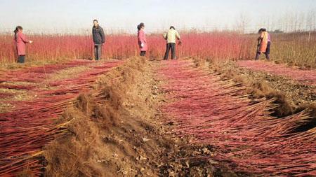 红瑞木种子图片