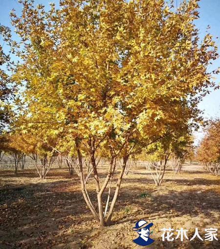 河北保定 丛生五角枫受到市场的欢迎