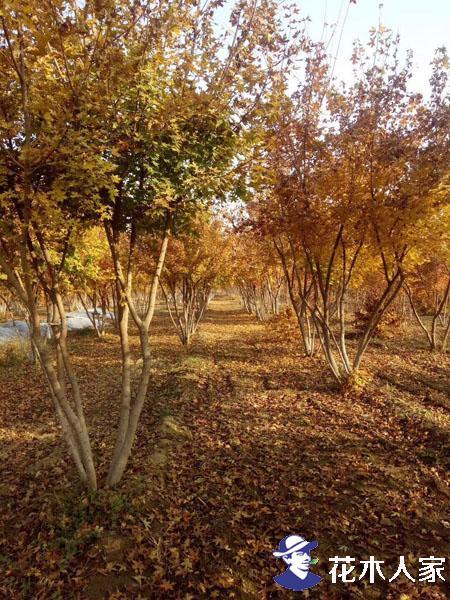 丛生五角枫苗圃基地实景照片
