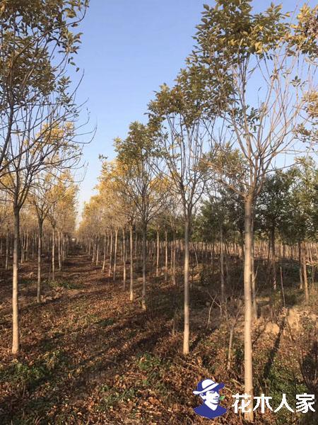 金叶白蜡苗圃基地实景照片