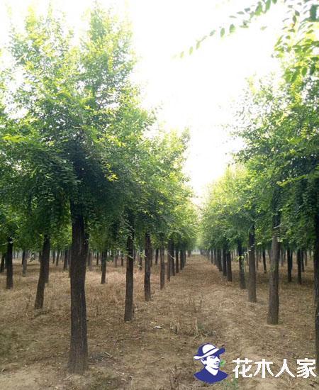 哪里有金叶榆卖,金叶榆产地有哪些?