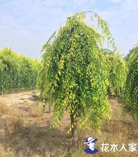 金叶垂榆苗圃基地实景照片