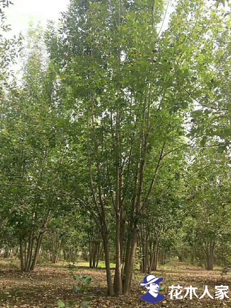 丛生白蜡苗圃实景图片