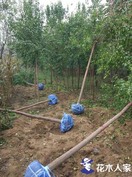 桃叶卫矛苗圃基地实景照片