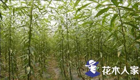 冬季移栽速生柳怎么样,好成活吗?