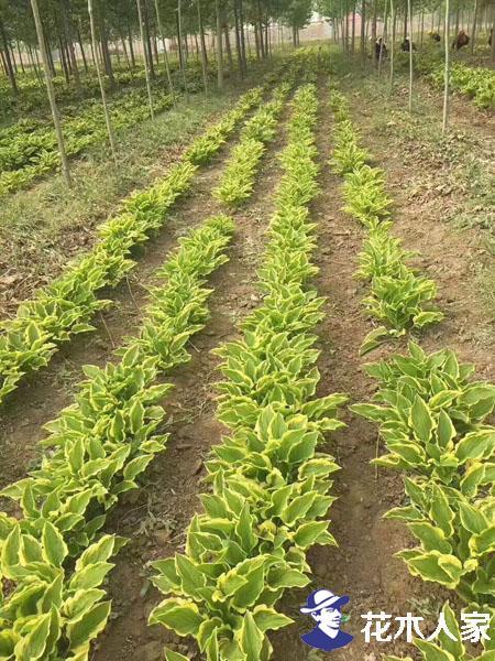 玉簪实景苗圃基地照片