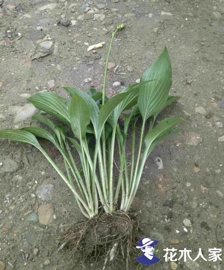 玉簪种子几月播种最好?
