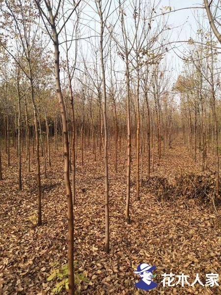 市场告急:白蜡树园林用途广泛货紧价格扬