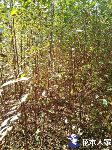 榆树苗图片苗圃实景照片