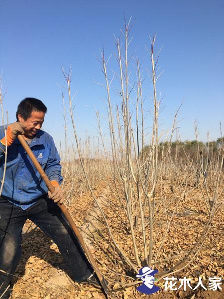苗木产业投资大  怎么做一个赚钱的苗木人!