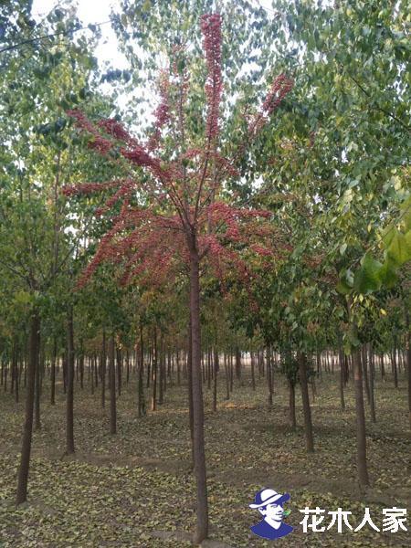 丝棉木种植前景及园林用途