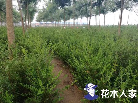 朝鲜黄杨图片基地实景照片
