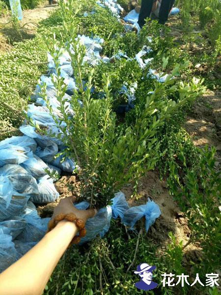 朝鲜黄杨种植及管理方法