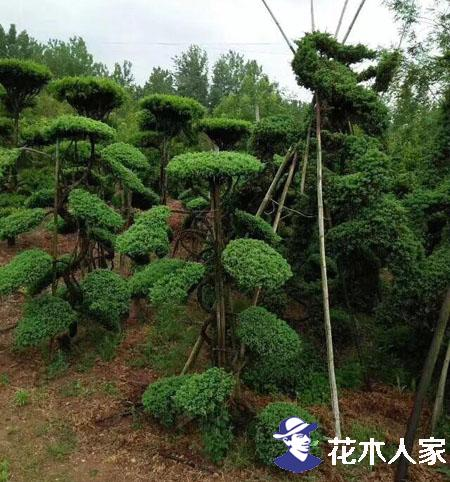 标准化和艺术化种植模式提高苗木价格