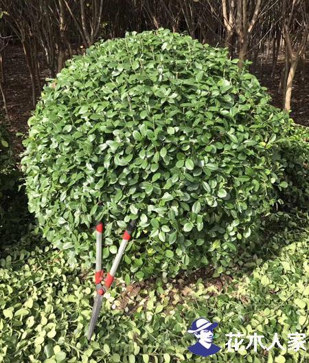 图解花灌木修剪标准及冬季修剪心得