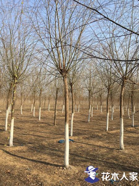 垂柳种植基地照片