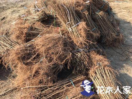 榆树苗种植基地