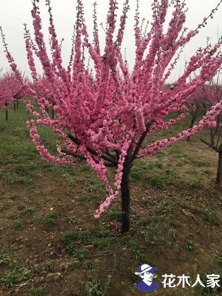 榆叶梅的种植技术