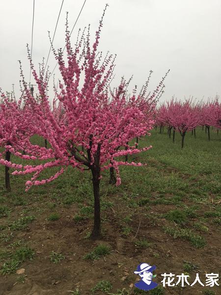 榆叶梅的种植技术照片