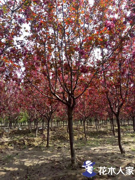 红宝石海棠挖树现场照片
