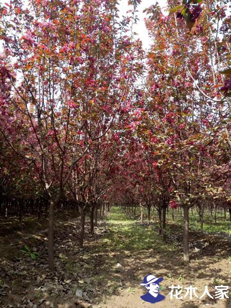 红宝石海棠照片