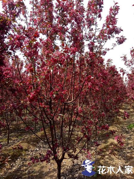 红宝石海棠苗圃图片