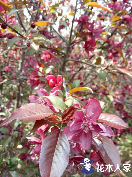 绚丽海棠和红宝石海棠的区别